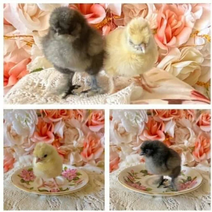 Chick Hatching Experiences