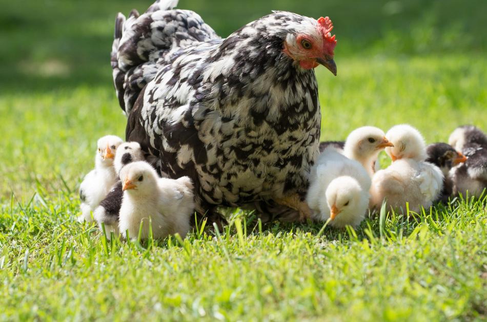 Chick hatching Homeschooling.jpg