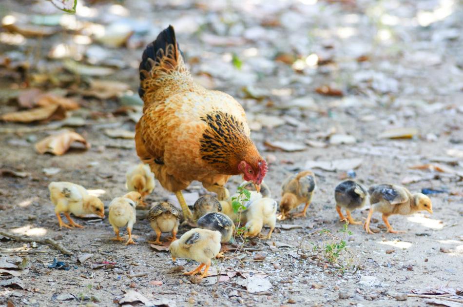 Hatching eggs Alberta