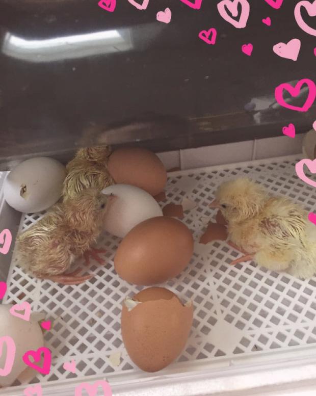 hatchlings incubator